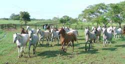 """Los caballos árabes del Rancho """"San Vicente"""""""